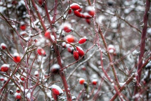 Gratis lagerfoto af bær, close-up, dagslys, farver