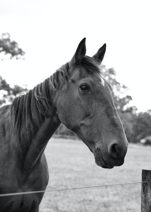 Grayscale Photo of a Horse