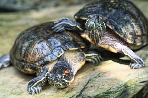 A Close-Up Shot of Red-Eared Sliders Turtles