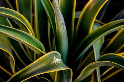 Základová fotografie zdarma na téma agáve, listoví, příroda, rostlina