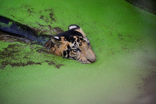 คลังภาพถ่ายฟรี ของ การถ่ายภาพสัตว์ป่า, ดุร้าย, ป่า, ว่ายน้ำ