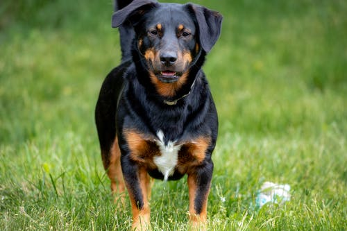 Close-Up Shot of a Rottweiler Looking at Camera while Standing on a Grassy Field
