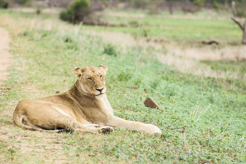 A Lioness Lying Down on a Grassy Field