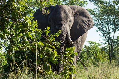 Close-Up Shot of an African Elephant on a Grassy Field