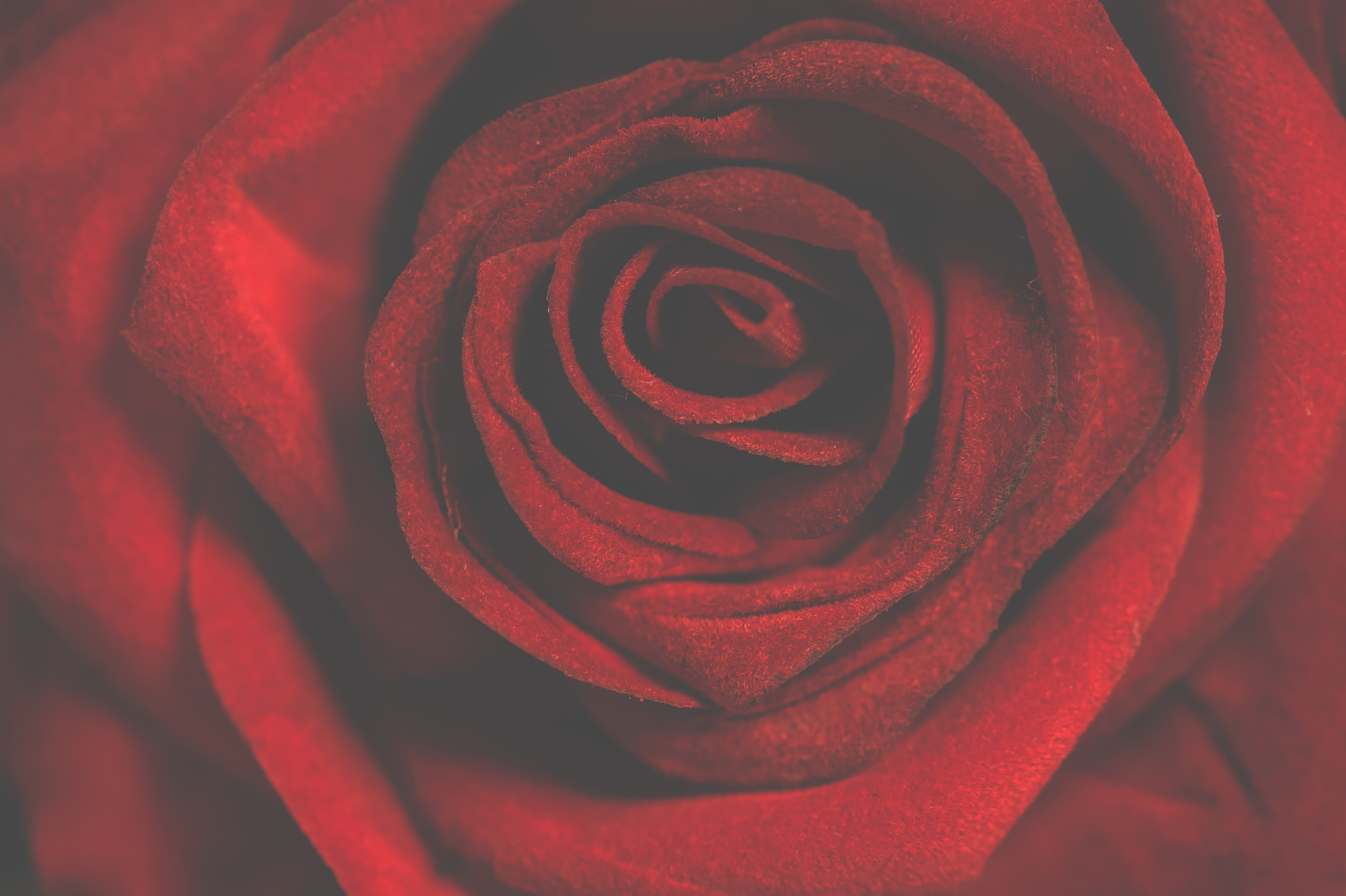 Macro Photography of Red Rose