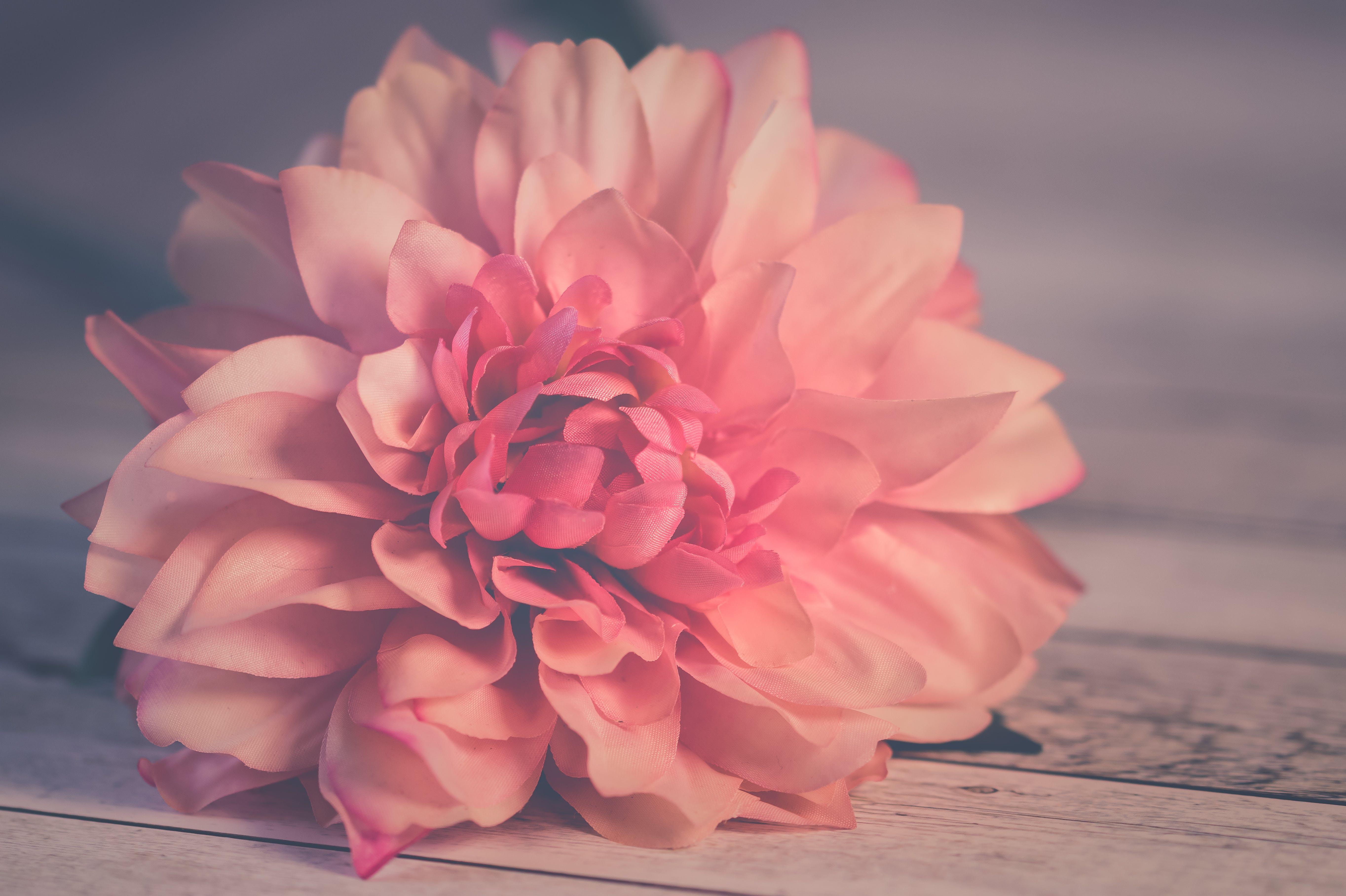 Gratis lagerfoto af baggrunde, blomst, blomstrende, close-up