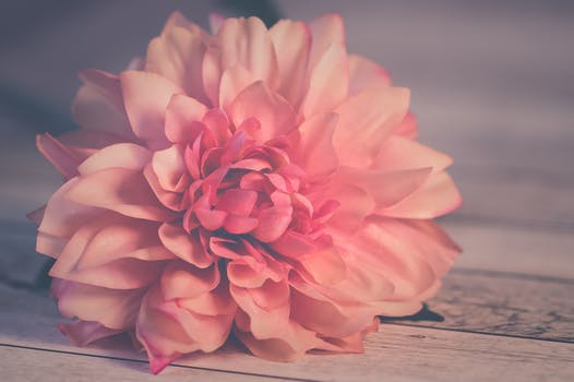 1000 great flower background photos pexels free stock photos pink dahlia flower in bloom mightylinksfo
