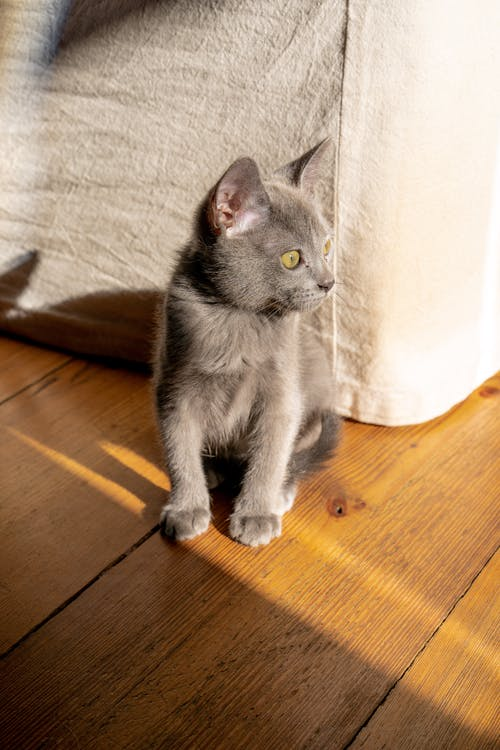 Close-Up Shot of a Gray Kitten Sitting on a Wooden Floor