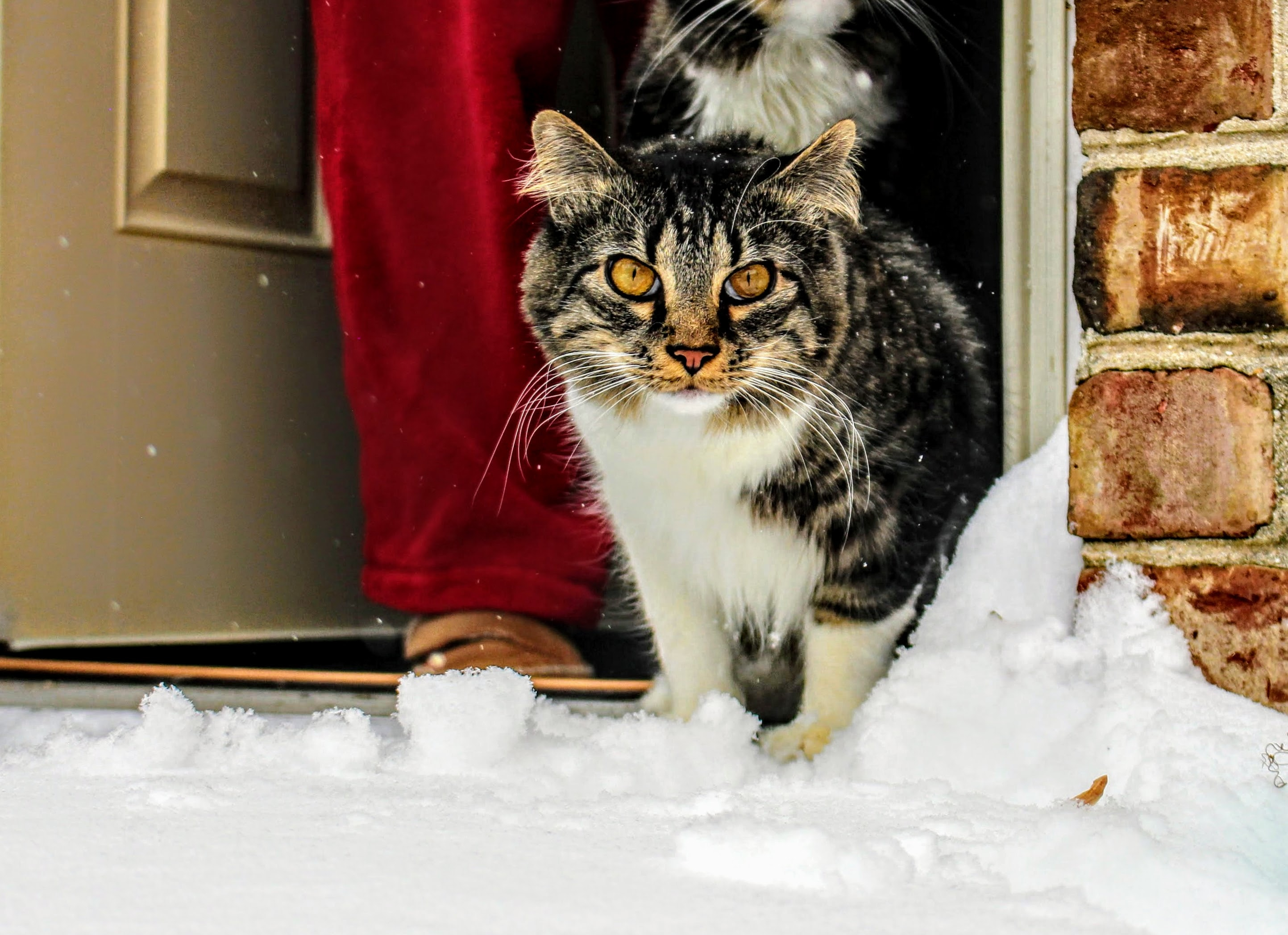 Kucing Maine Coon Coklat, Putih Dan Hitam Di Depan Pintu Kayu Abu ...