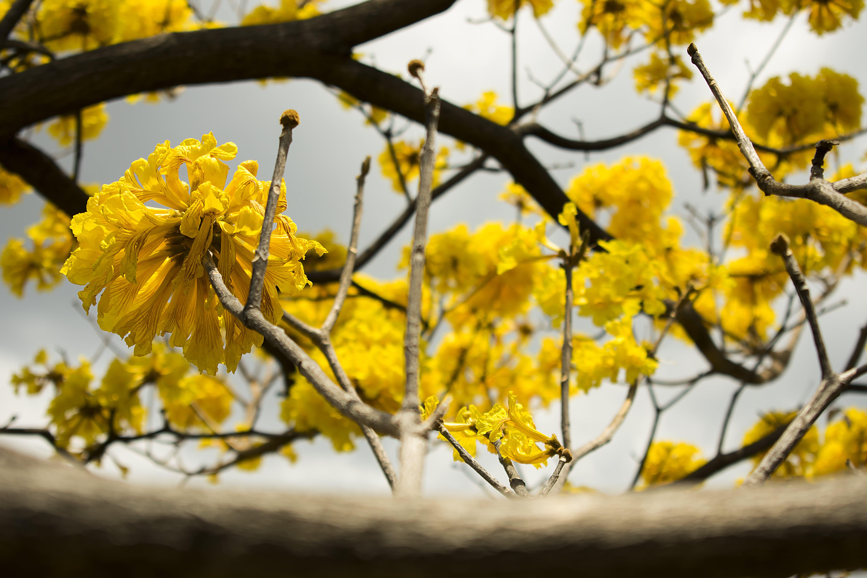 Fotos de stock gratuitas de amarillo, árbol, flora, floración
