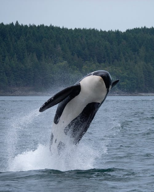 Black and White Whale on Water