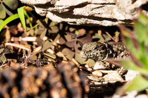 나뭇잎, 도마뱀, 동물의 무료 스톡 사진