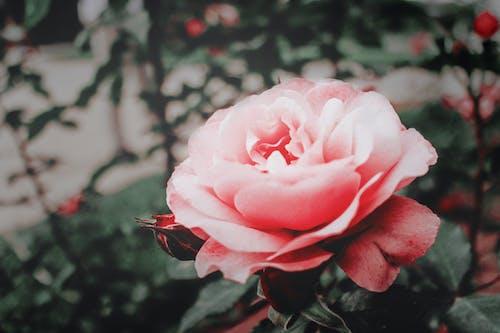 Základová fotografie zdarma na téma červená, flóra, kvést, květ