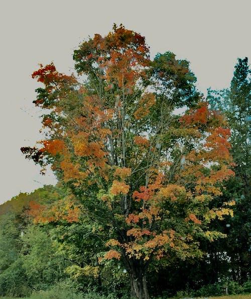 佛蒙特, 樹, 红色的叶子 的 免费素材照片