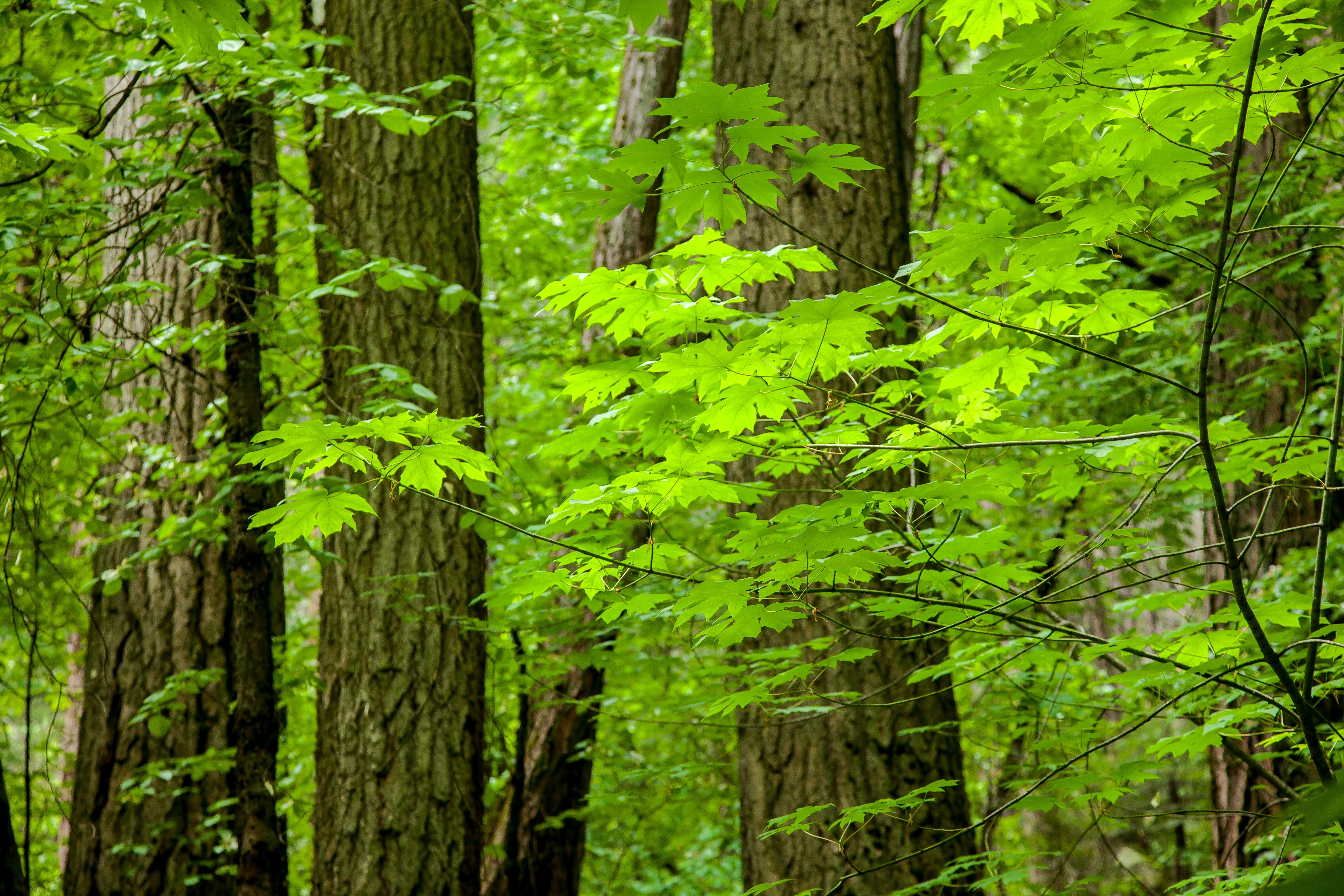 Free stock photo of green, leaves, redwoods, spring