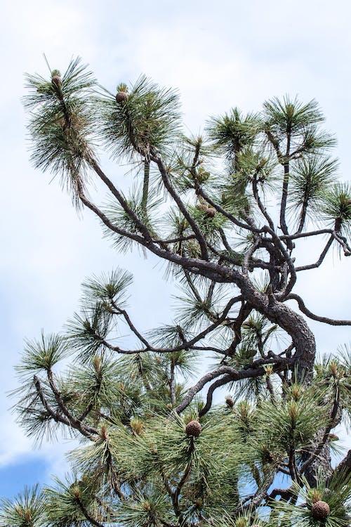 松樹, 松針 的 免费素材照片