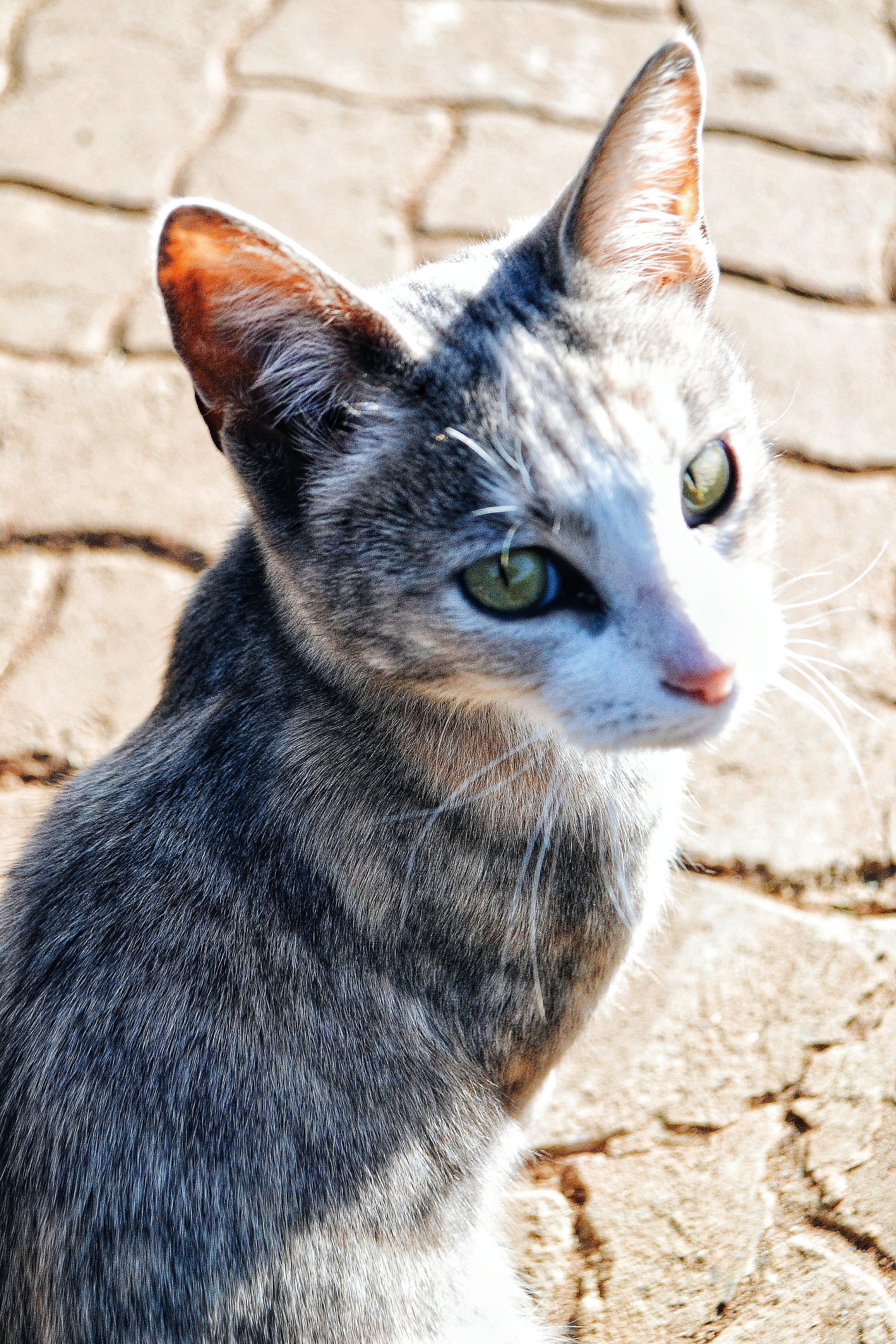 Free stock photo of animal, background, blurr, cat