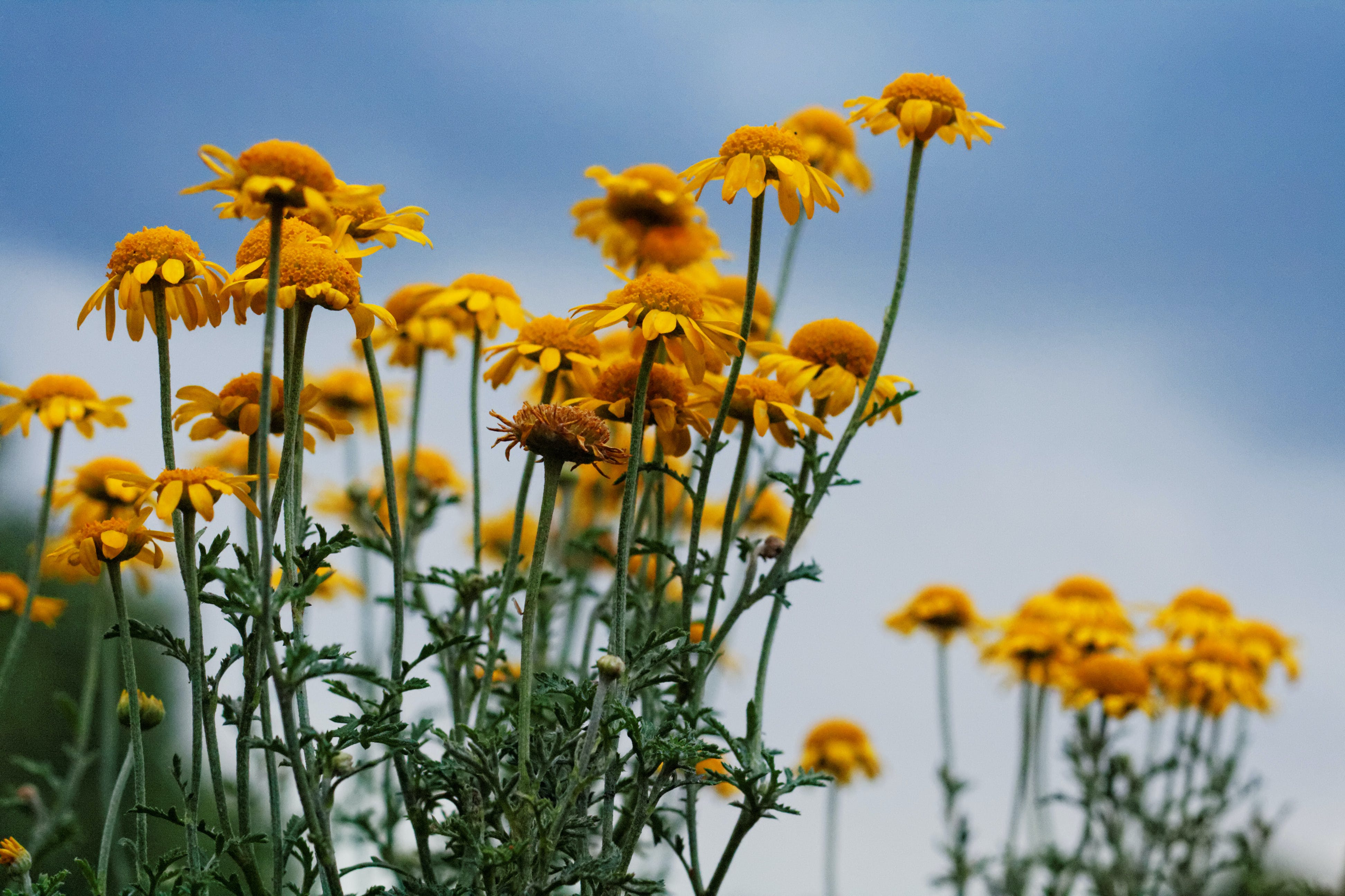 Sunflowers Under Gray