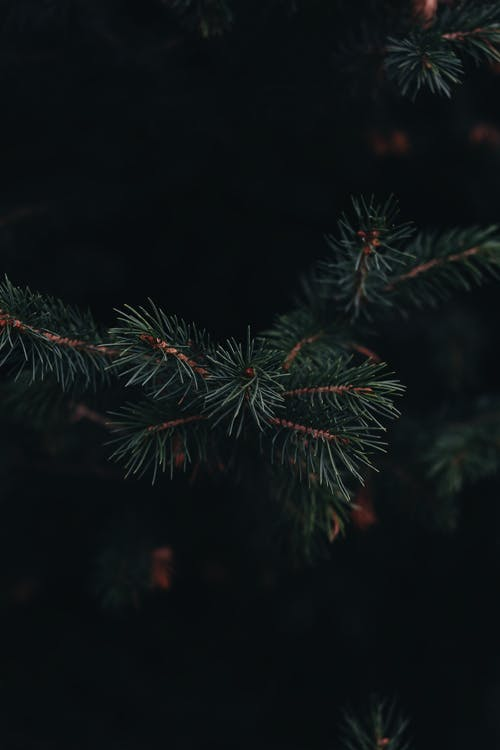 Twig of tree with green needles