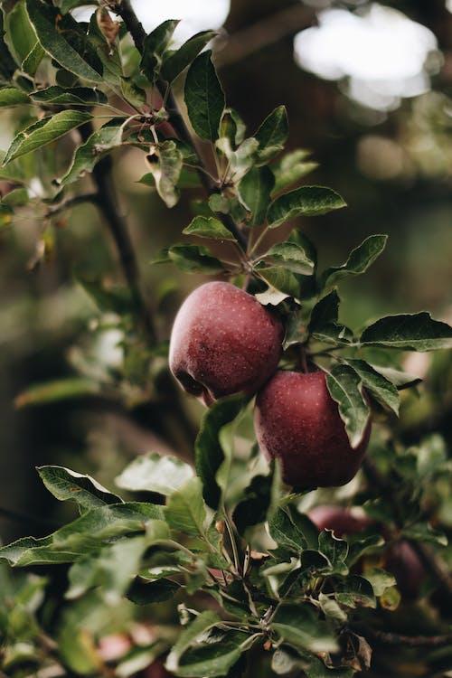 Бесплатное стоковое фото с apple, Аппетитный, Ароматический