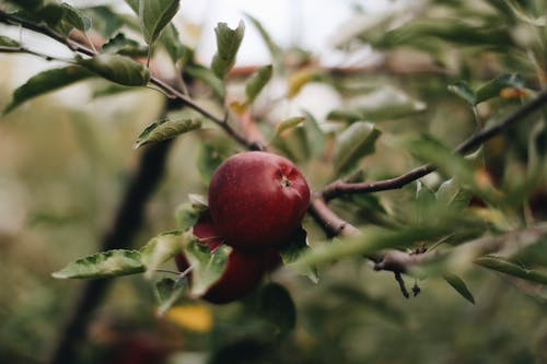 Ripe red apples hanging on tree branch with green leaves on blurred background