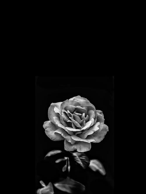 Grayscale Photo of a Rose Flower