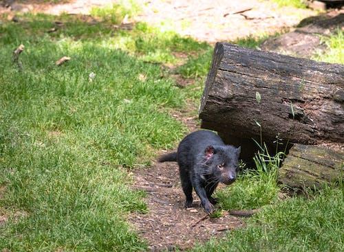 Immagine gratuita di animale, diavolo della tasmania, natura