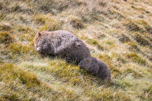 Immagine gratuita di animale, australia, famiglia