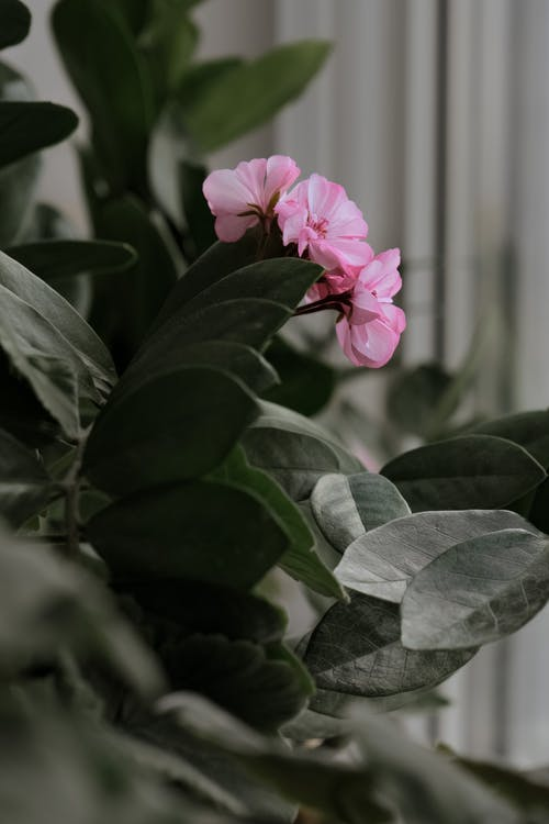 A Close-Up Shot of Pink Flowers and Green Leaves