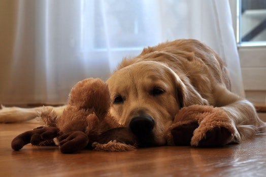 Brown Long Coated Dog Lying in Front of White Curtain