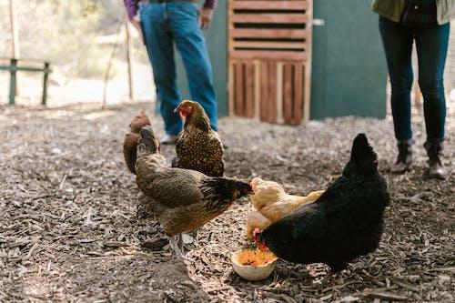 Fotos de stock gratuitas de agricultura, animales de granja, animales domésticos