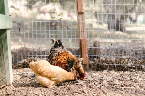 Close-Up Photo of a Rooster Beside a Hen