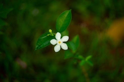Free stock photo of dark green, green, jasmine