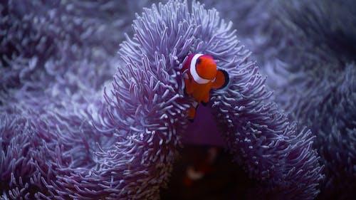 Lilac anemone and orange clown fish crawling underwater