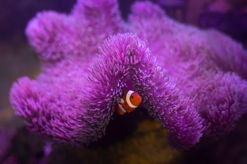 A Clownfish Hiding Under a Coral