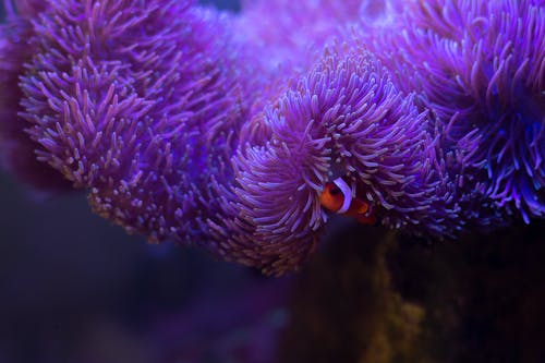 Violet scabrous coral reef and striped fish