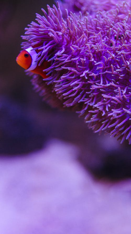 Small false percula clownfish swimming among colorful tropical sea anemone under water on violet background