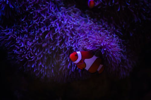 Red and white fishes among corals