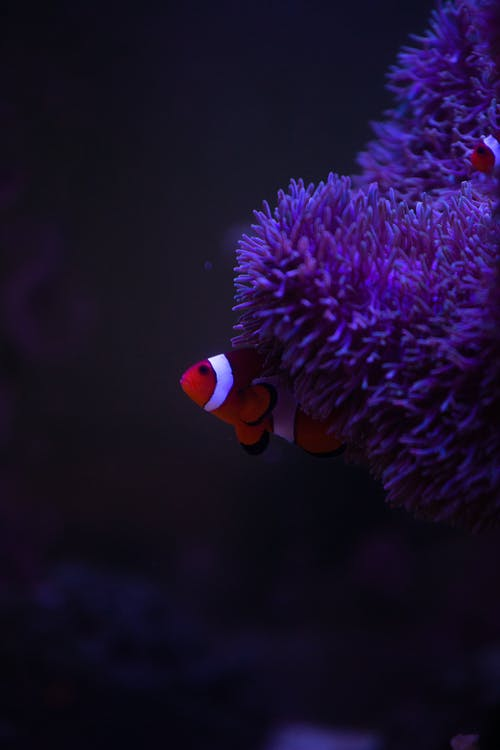 Small clown fish behind lilac anemone underwater