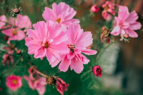 Blooming pink flowers of Cosmos Bipinnatus