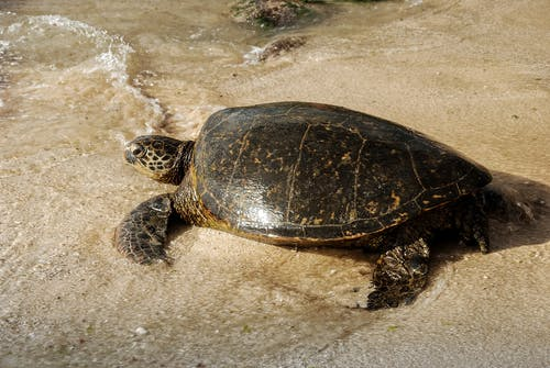 Black and Brown Turtle on the Seashore
