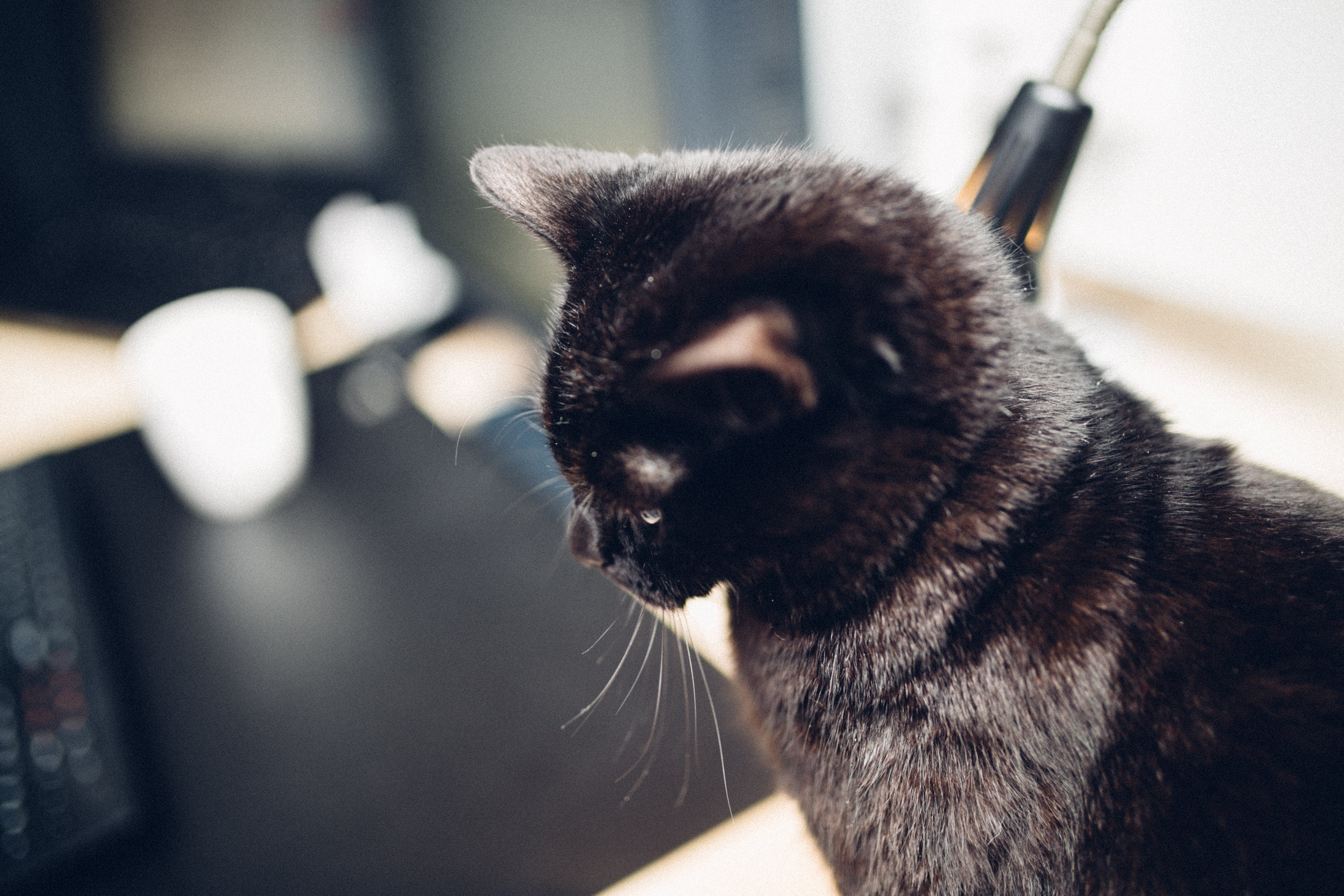 Free stock photo of office, pet, table, black
