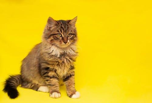 Бесплатное стоковое фото с домашнее животное, животное, кошачьи