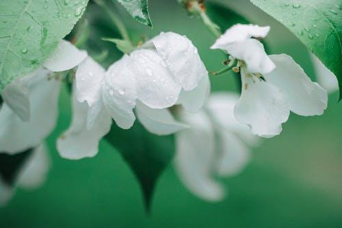 Бесплатное стоковое фото с аромат, белый, благоухающий