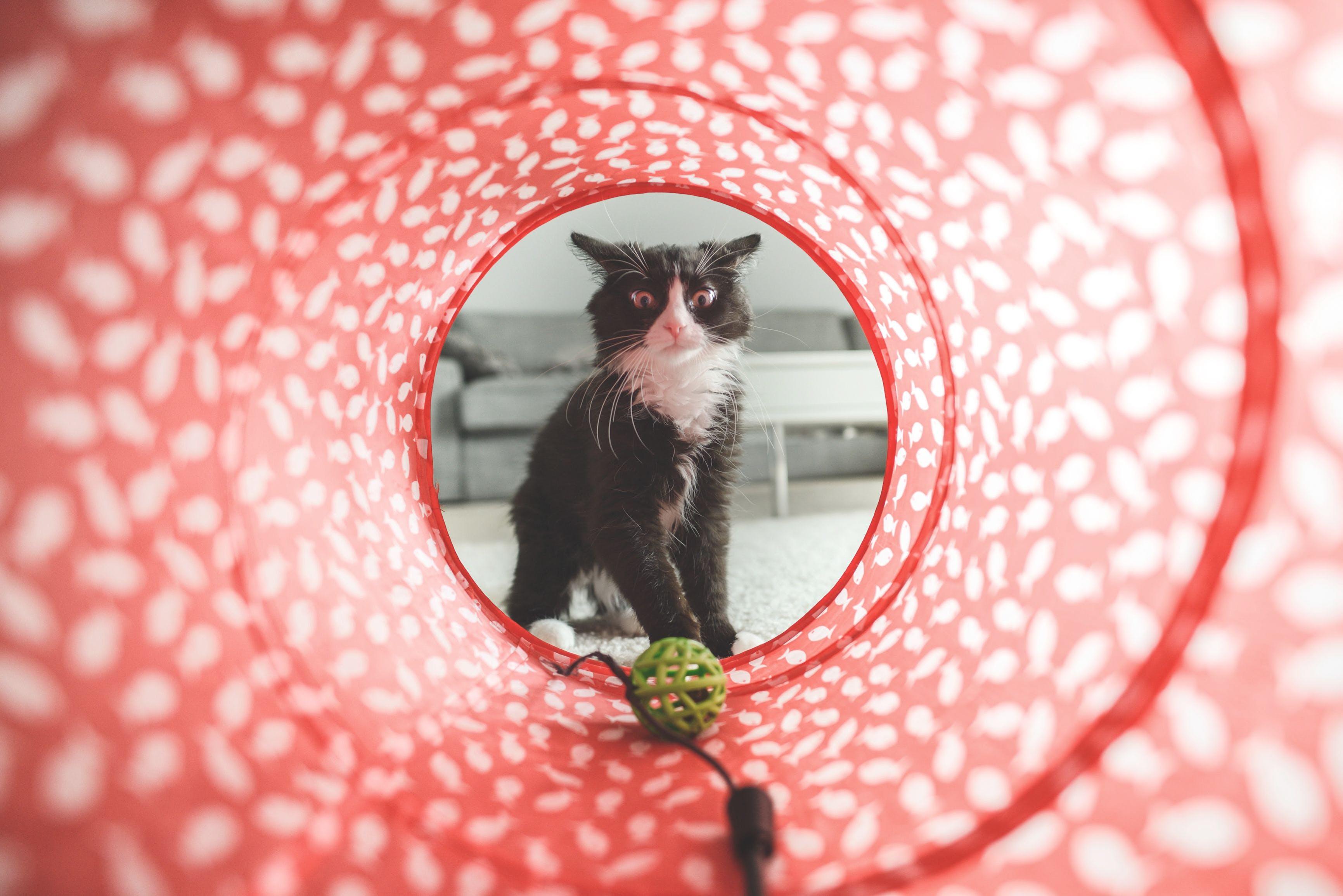 Free stock photo of animals, pets, cat