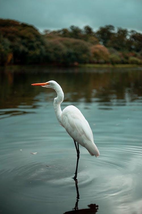 Immagine gratuita di acqua, acqua del lago, airone
