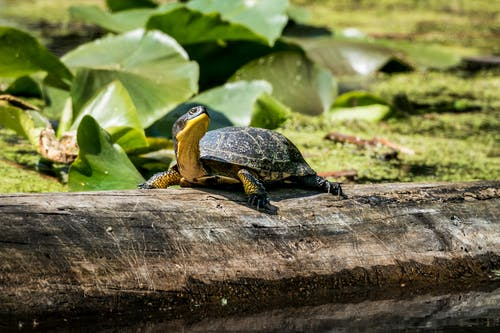 Black and Yellow Turtle on Brown Wood Log