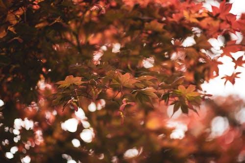 Free stock photo of close up, Japanese maple, leaf