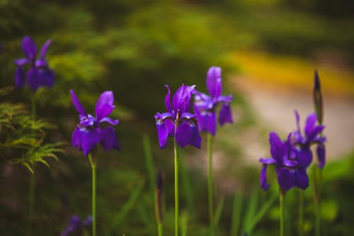 Free stock photo of flower, flowers, iris