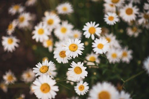 White Daisy Flowers in Bloom